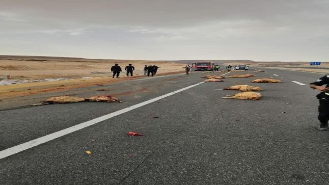 اصابة شخص ونفوق اغنام بانقلاب شاحنة على الصحراوي – شاهد حادث الدهس بالفيديو